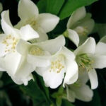 Jasmine-Grandiflora