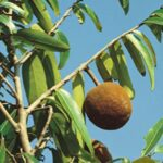 chaulmoogra-oil