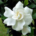 gardenia-oil