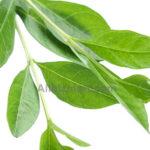 henna essential oil