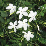 jasmine-attar