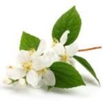 jasmine-grandiflorum