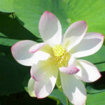 white-lotus-attar