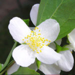 jasmine-grandiflorum-attar