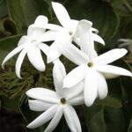 jasmine-sambac-attar