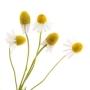 chamomile-roman-oil-dilution-in-jojoba
