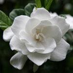 gardenia-fragrance-oil