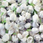 jasmine-grandiflorum-absolute-dilution-in-jojoba