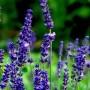 lavender-oil-kasmir-dilution-in-jojoba