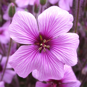 100% Natural Pure Geranium Essential Oil