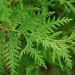cedar leaf thuja floral water