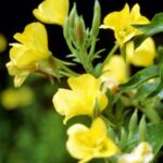 cold-pressed-evening-primrose-oil