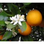 organic-mandarin-essential-oil