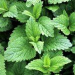 organic-melissa-essential-oil