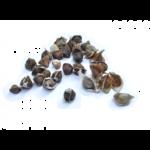 organic-moringa-seed-oil