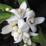 organic-neroli-essential-oil