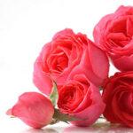 organic-rose-geranium-essential-oil