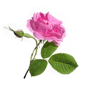Rose Otto Hydrosol