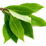 jpg2014072419283769815 Branch laurel leaf. Isolated on white background