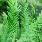 cypress-essential-oil