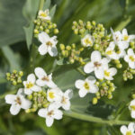 crambe maritima,  sea kale plant flowers close up