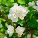 jasmine-sambac-absolute