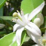 nerolina-australian-essential-oil