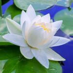 White-Lotus-Absolute