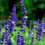 Lavender bulgaria oil
