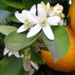 Orange Blossom Flower Essential Oil