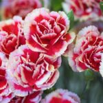 carnation-absolute-oil