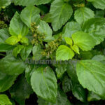 organic patchouli Indonesia essential oil