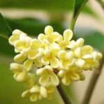 osmanthus-absolute-oil